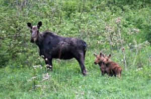 Momma Moose and her Babies