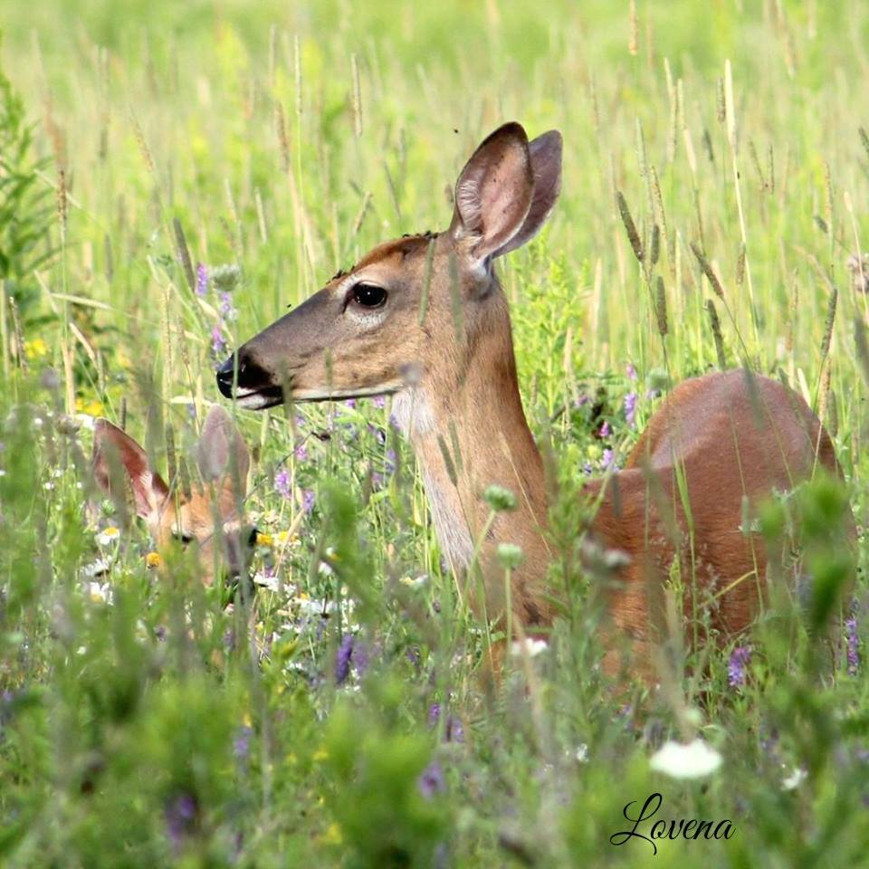 mother and baby deer in Mars Hill Maine