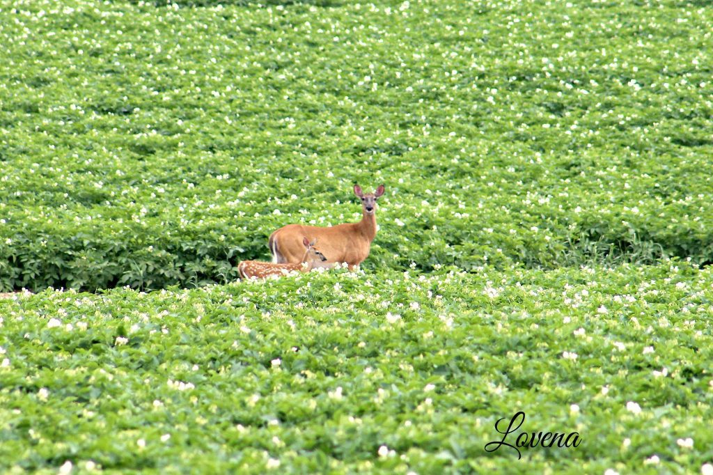 Deer and Potato Blossoms