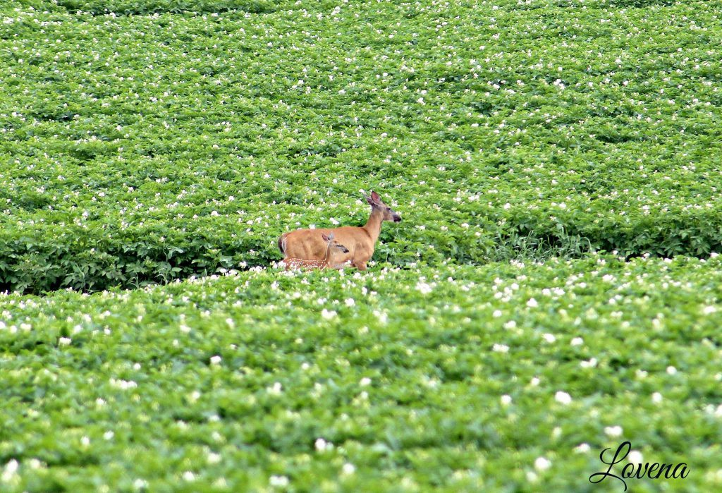 Deer and Potato Blossoms (photo credit: Lovena West)