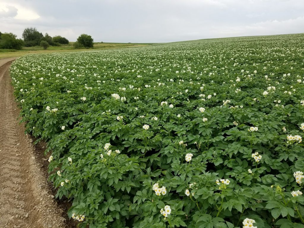 potato-blossoms
