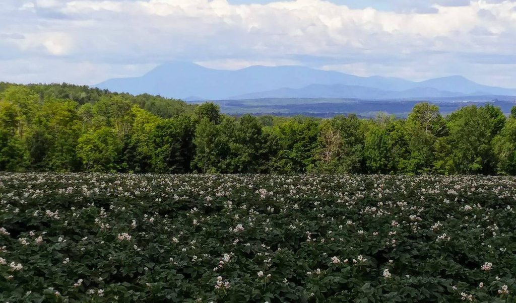 Potato Blossoms with Katahdin in the Background