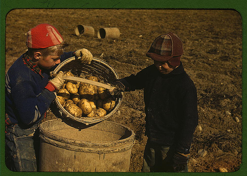 Boys Picking Potatoes in Aroostook County, Maine